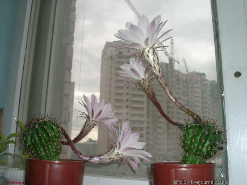 Цветущий кактус уход в домашних условиях - TurnPike